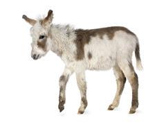 Young donkey - stock photo