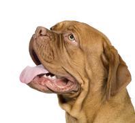 Dogue de Bordeaux (10 months) Stock Photos