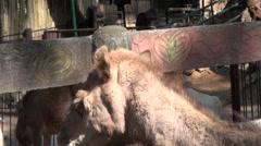 Close up of camel and horses eating at Zoobic Safari Park Stock Footage