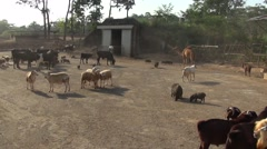 Semi-domesticated animals at Zoobic Safari park Stock Footage