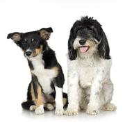 Tibetan Terrier (3 years) and puppy Border Collie (4 months) - stock photo