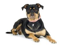 American Staffordshire terrier (1 year) - stock photo