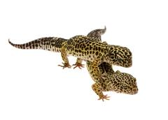 Leopard gecko - Eublepharis macularius - stock photo