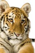 Tiger cub (5 months) - stock photo