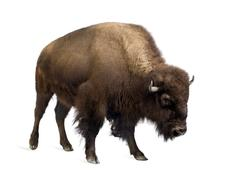 Stock Photo of Bison