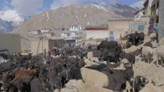 Cattle gather in the center of town in the morning,Kibber,Spiti,India Stock Footage