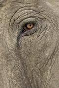 Asian Elephant - Elephas maximus (40 years) Stock Photos