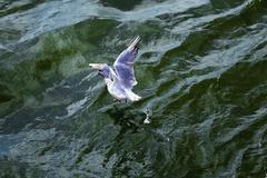 Seagull arises from ocean waves - stock photo