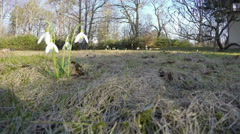 First spring flowers snowflake (leucojum vernum) park. 4K Stock Footage