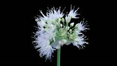 Time-lapse of opening onion flower umbel in RGB + ALPHA matte format - stock footage