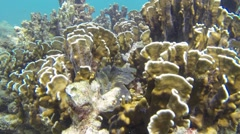 Large seashell between brown corals in Thailand - stock footage
