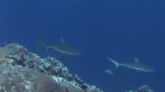 Grey Reef Sharks in Blue Water Stock Footage