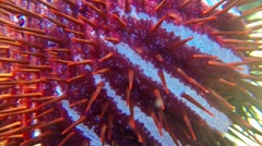 Long spines of crown-of-thorns starfish Stock Footage
