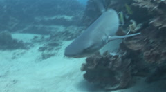 White Tip Reef Shark Swimming Stock Footage