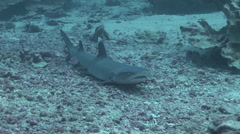 White Tip Reef Sharks Stock Footage