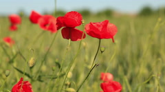 Red poppies in the field Stock Footage
