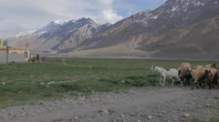 Goat herd and farmer pass by,Kaza,Spiti,India Stock Footage