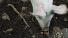 Two free range pigs rooting in the earth Stock Footage