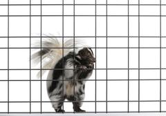 Striped Skunk, Mephitis Mephitis, 5 years old, standing in front of white backgr Stock Photos