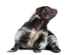 Striped Skunk, Mephitis Mephitis, 5 years old, lying in front of white backgroun - stock photo