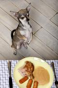 Chihuahua on hind legs to look at food on plate at dinner table - stock photo