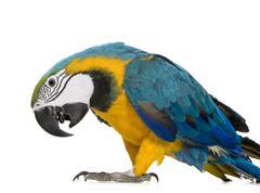 Young Blue-and-yellow Macaw - Ara ararauna (8 months) Stock Photos