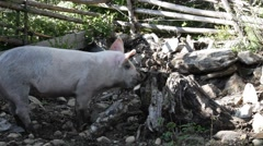 Free range pig searching for grubs in a tree stump Stock Footage