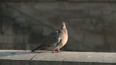 Pigeon at Quai de Montebello Stock Footage