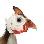 Helmeted guinea fowl - Numida meleagris - stock photo