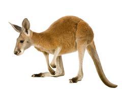Stock Photo of Young red kangaroo (9 months) - Macropus rufus