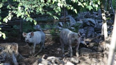 Two free range pigs on a sunny day Stock Footage