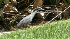 Yellow crowned night heron Stock Footage