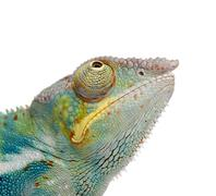 Young Chameleon Furcifer Pardalis - Ankify (8 months) - stock photo