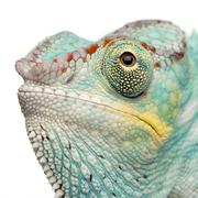 Young Chameleon Furcifer Pardalis - Nosy Be(7 months) Stock Photos