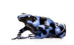Blue and Black Poison Dart Frog - Dendrobates auratus Stock Photos