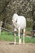 Amazing white andalusian mare Stock Photos