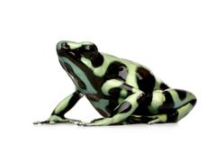 Green and Black Poison Dart Frog - Dendrobates auratus Stock Photos