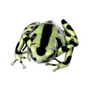 green and Black Poison Dart Frog - Dendrobates auratus - stock photo