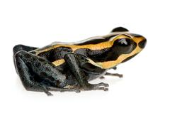 Stock Photo of Poison Dart Frog - ranitomeya amazonica or Dendrobates amazonicu