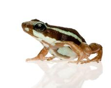 Phantasmal poison frog - Epipedobates tricolor Stock Photos