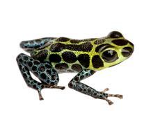 Imitating Poison Frog - Ranitomeya imitator Stock Photos
