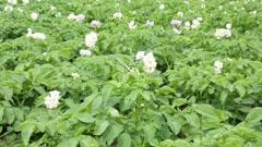 Flowering potato on the field. Summer Stock Footage