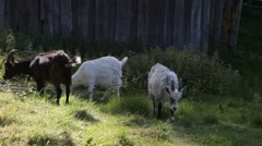 Three goats grazing in front of a wooden shack Stock Footage