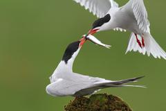 Common Tern, Sterna hirundo - stock photo
