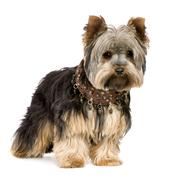 Yorkshire Terrier (1 year) - stock photo