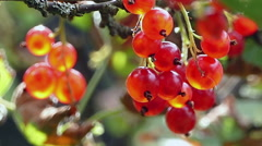 Red currants on a bush in the wind Stock Footage