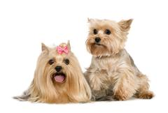 Couple of Yorkshire Terrier - stock photo