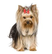Yorkshire Terrier (15 months) - stock photo