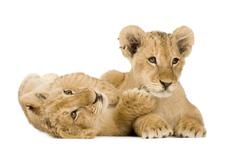 Lion Cub (4 months) Stock Photos