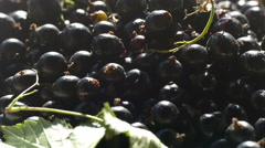 Black currant sprinkling Stock Footage